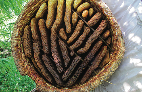 In this skep the bees have built comb the 'warm way' near the entrance, changing to the 'cold way'  for the rest of the basket